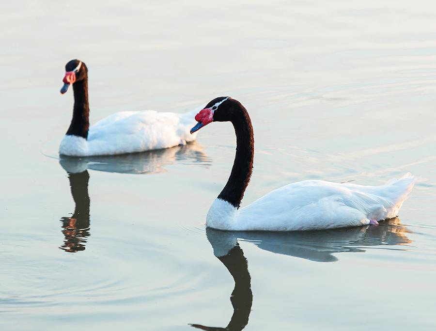Cisne-De-Pescoço-Preto