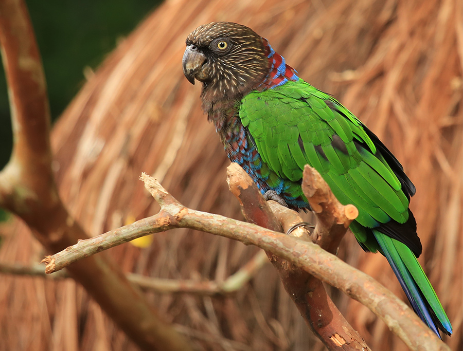 Papagaio-Anacã