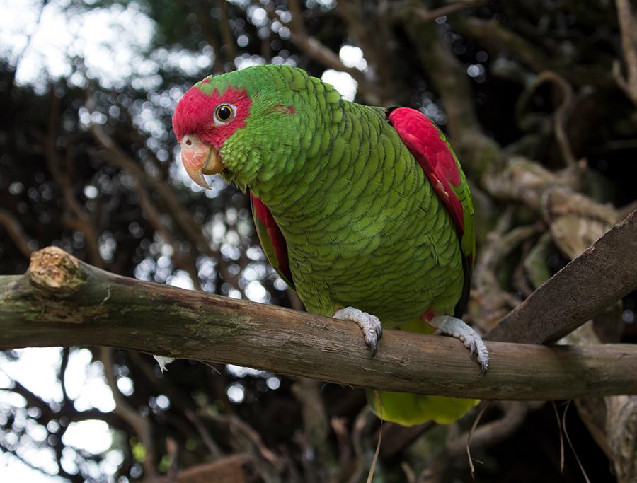Papagaio-Da-Serra