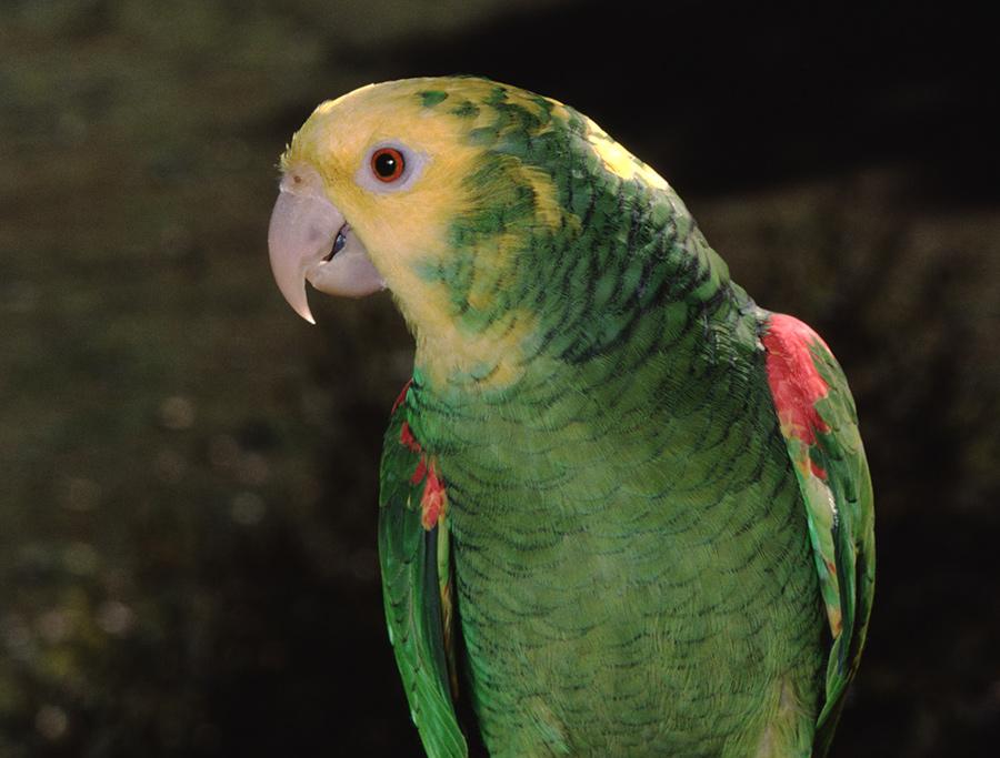 Papagaio-Oratrix