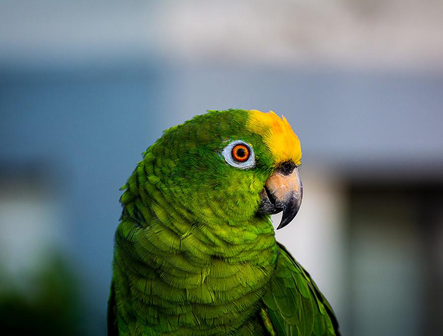 Papagaio-Xantholaema